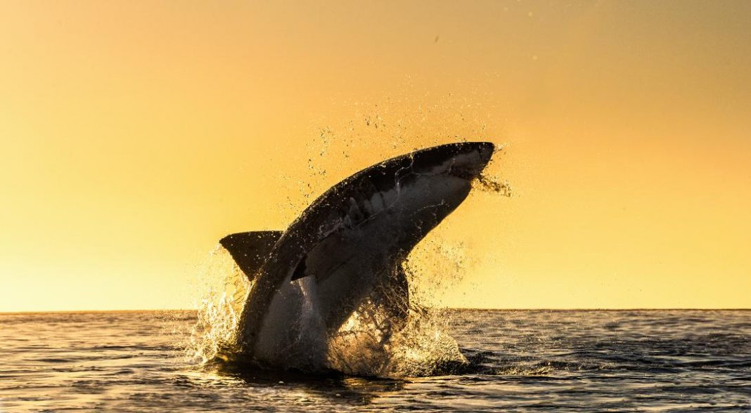 Great White Shark Vs. Orcas. Who Wins? Not Who You Believe.