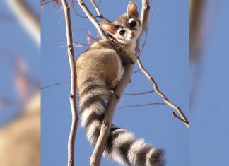Ringtail Cats: Pictures of the 'Prettiest Animal in The United States And Canada'