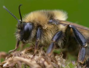 Bumblebee numbers diminishing, and one research study indicate particular diet plans