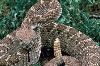 1,550 years back, somebody consumed a rattlesnake whole– and we have poo to show it