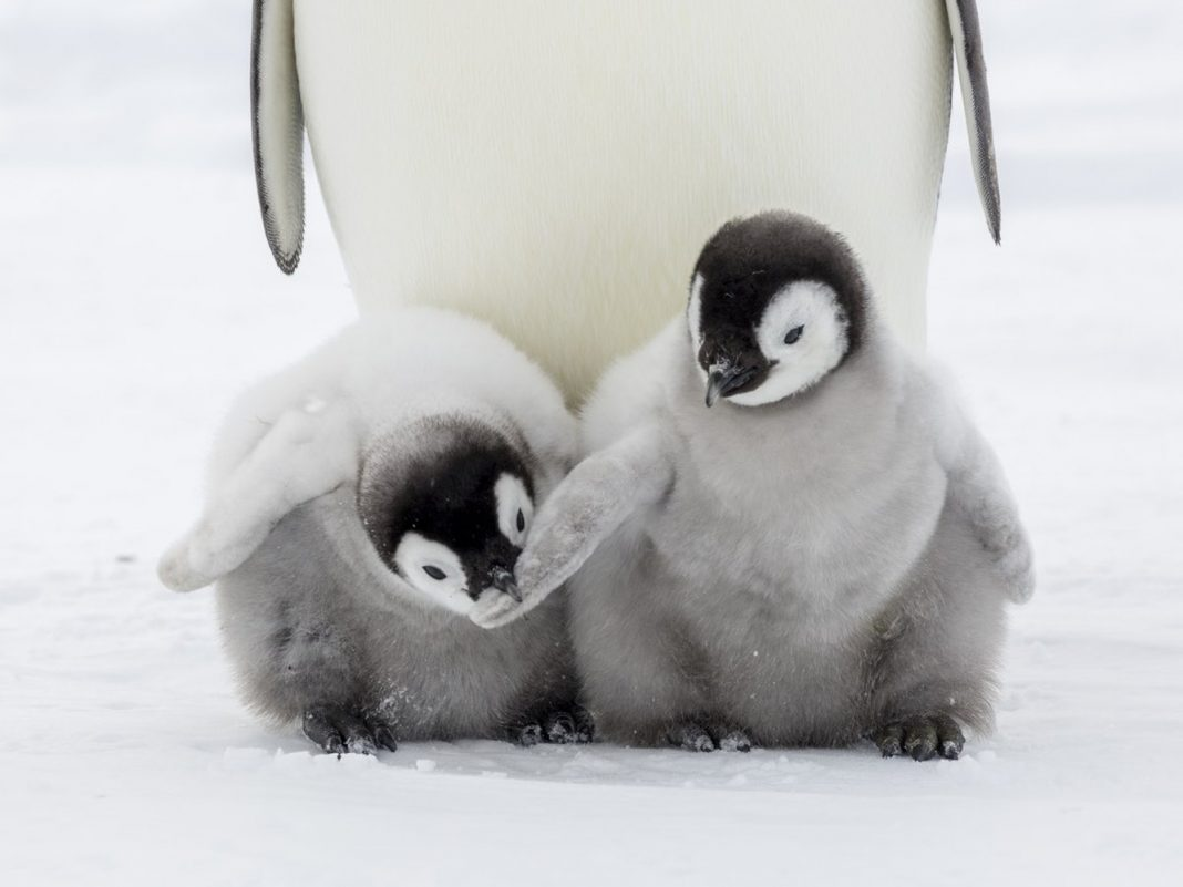 Why Do All the Children in This Huge Penguin Nest Keep Drowning?