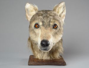 This 4,500- year-old rebuilt pet appears like a Video game of Thrones direwolf