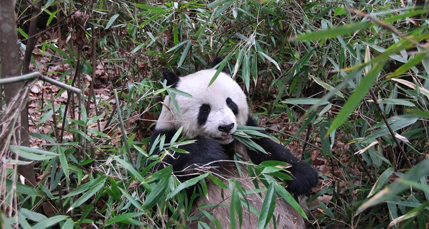 Pandas' share of protein calories from bamboo competitors wolves' from meat