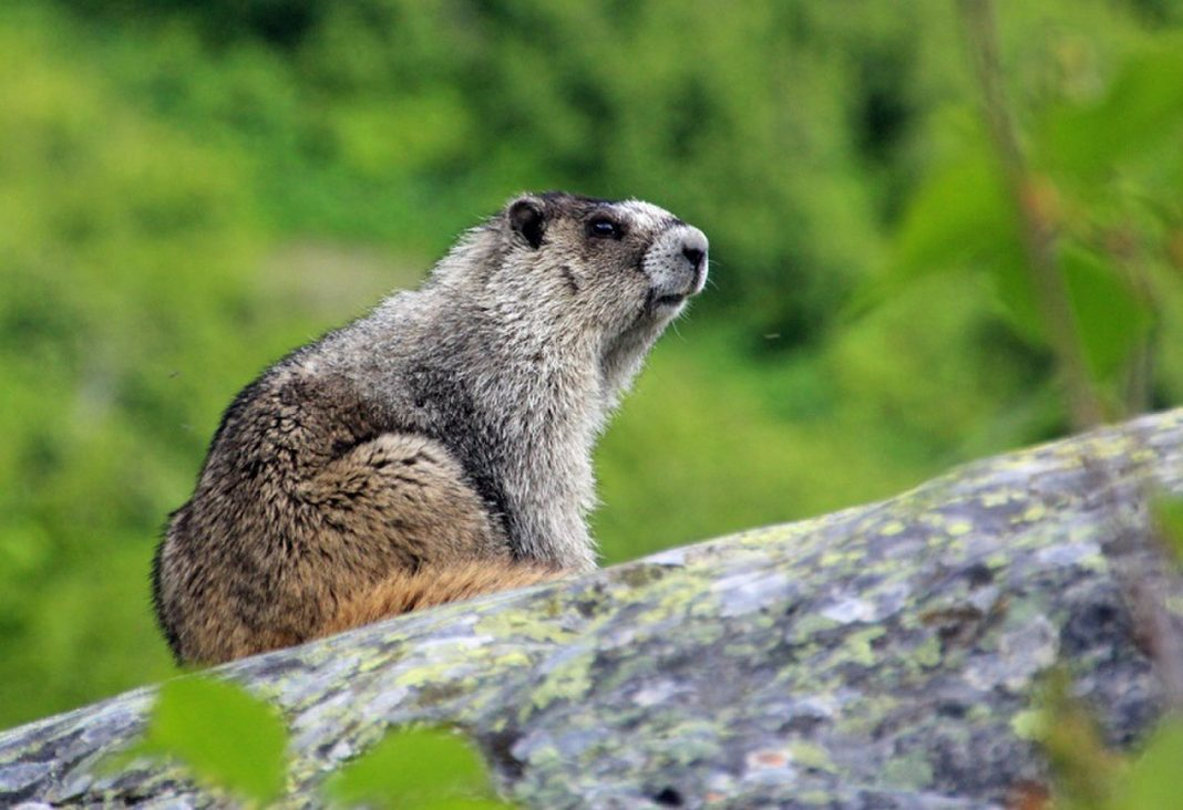 Mongolian Couple Passed Away of Plague After Consuming Raw Marmot