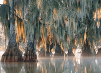 Researchers Found a 2,624- Year-Old Tree in a North Carolina Swamp. Environment Modification Might Eliminate It.