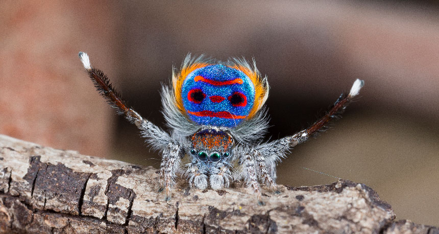 Peacock spiders' superblack areas show simply 0.5 percent of light
