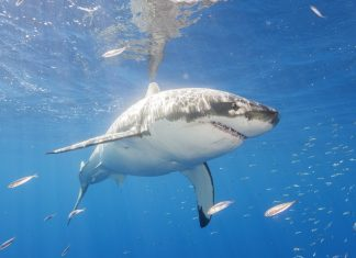 A Huge Great White Shark Is Travelling Towards the Outer Banks. However There's Absolutely nothing to Worry.
