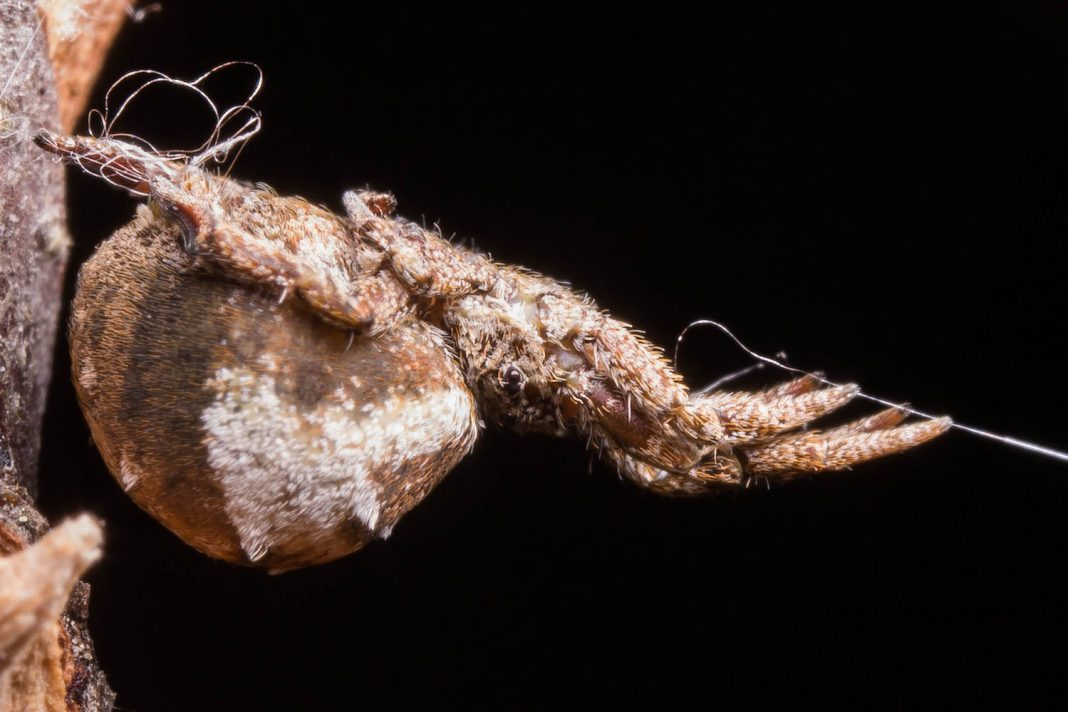 This Crafty Spider Does Not Have Venom … However It Does Have a 'Slingshot'