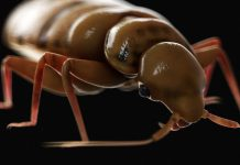 New Research Study Discovers Bedbugs Have Actually Plagued the World for 115 Million Years