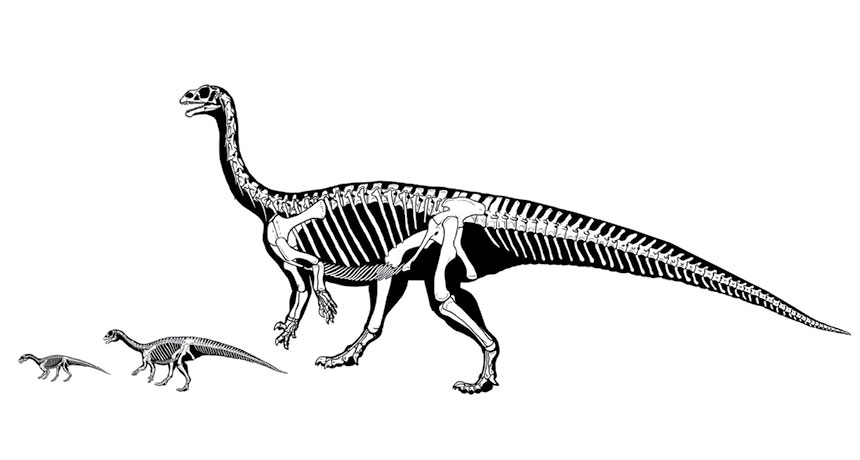 This early sauropod went from strolling on 4 legs to 2 as it grew
