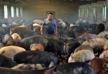China utilizes AI, facial acknowledgment, and blockchain to monitor its farms– however it still can't stop the gruesome swine fever that will leave 200 million pigs dead