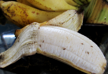 Why fruit flies are so difficult to eliminate