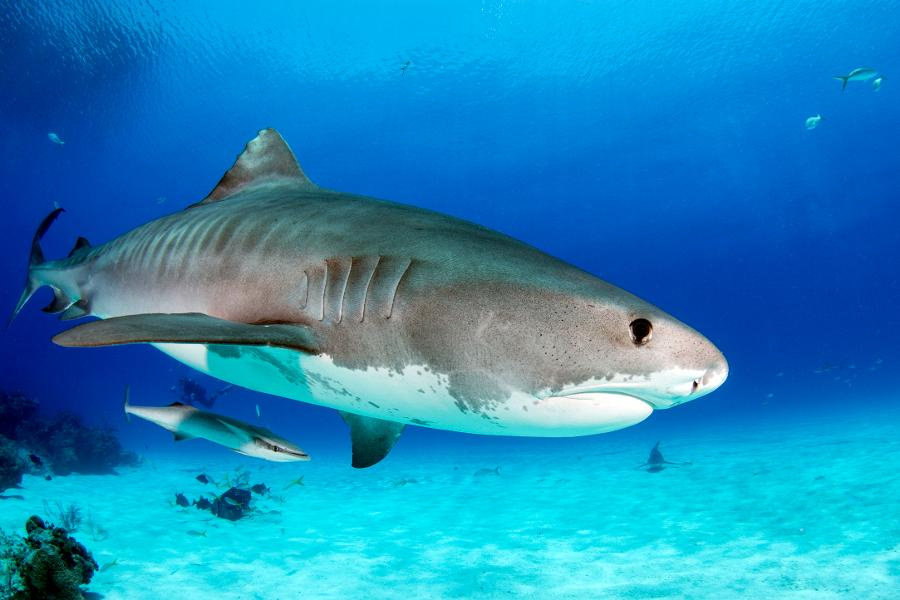 Researchers Didn't Know Infant Tiger Sharks Consumed This