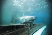 Did a Terrific White Shark Truly Go Into Long Island Noise?