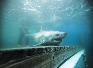 Did a Terrific White Shark Truly Go Into Long Island Noise?