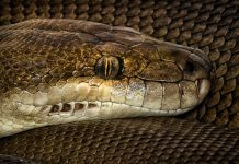 Huge Python Swallows, Throws Up Up Even Larger Python