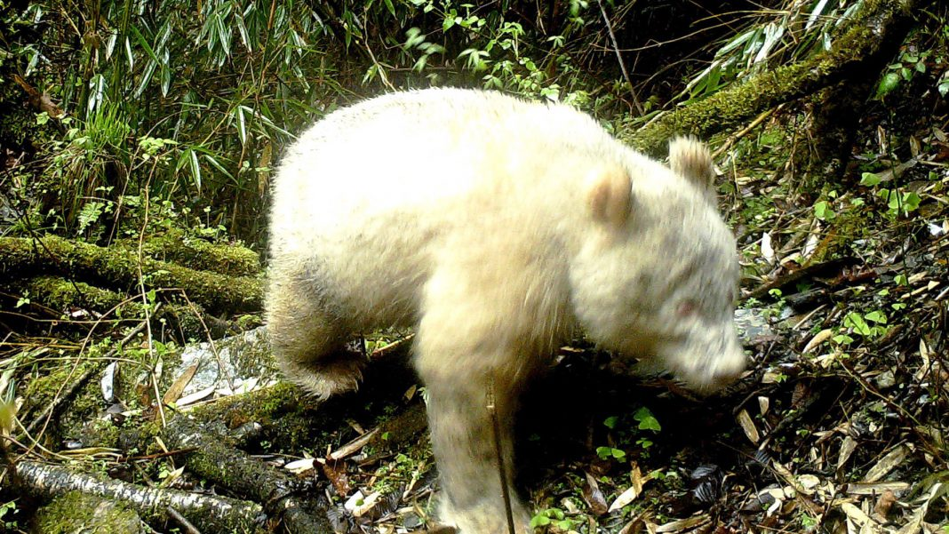 Albino Panda Found in the Wild for the Very First Time