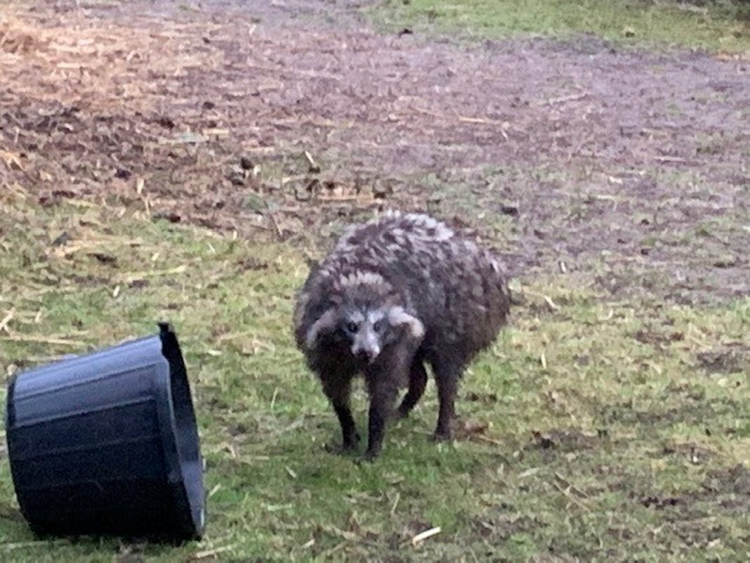 Left 'Racoon Dogs' Harass English Town. What Are These Things?