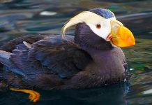 Countless birds died in the Bering Sea. Arctic warming might be to blame