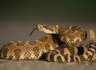 What Should You Do If You're Bitten by a Poisonous Snake?