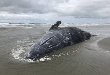 More Than 70 Gray Whales Dead in 6 Months, and Researchers Do Not Understand Why
