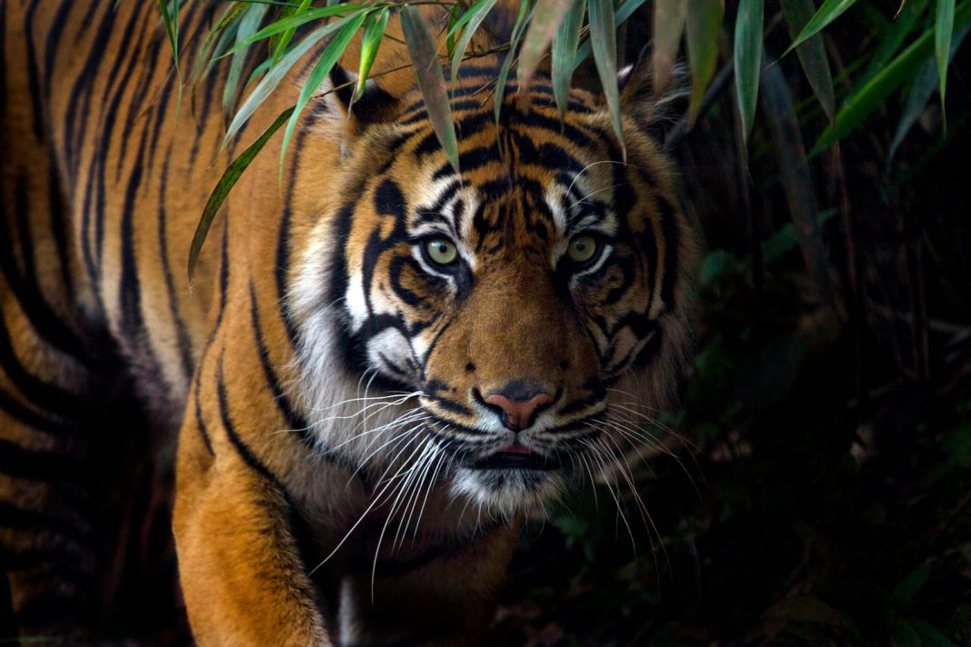 Tigers: The Biggest Felines on the planet