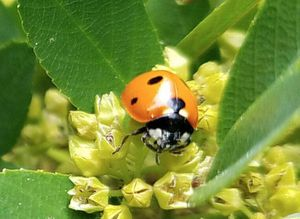 Ladybug swarm is so big it appears on National Weather condition Service radar