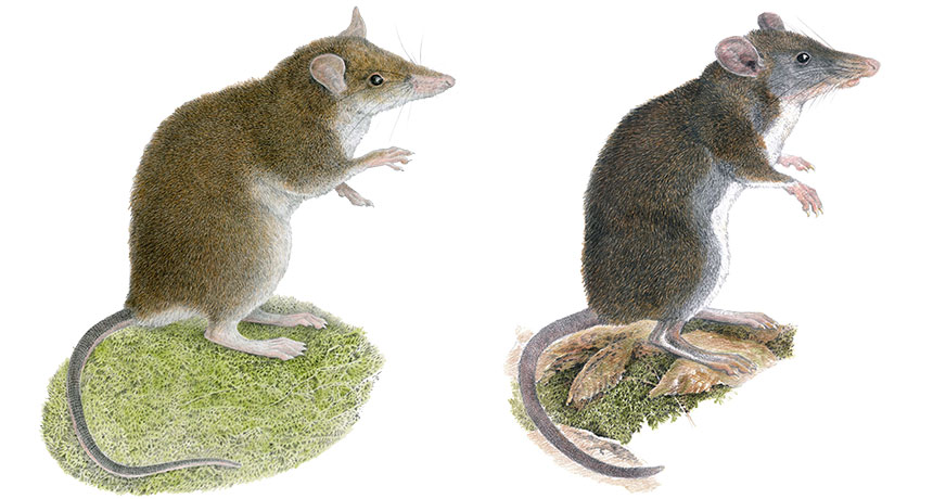 Worms draw 2 brand-new types of hopping rats out of obscurity