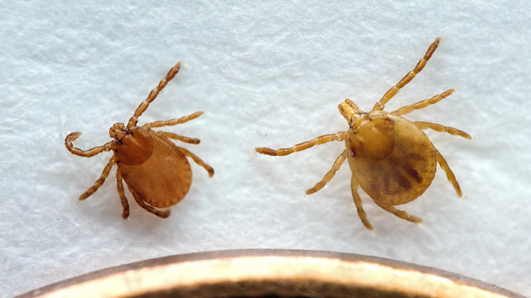 Asia's Longhorned Tick Takes Its Very First Documented Bite In The U.S.