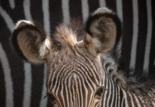 This 2-Month-Old Zebra Is Whatever You Required To See Today