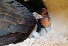 Hey there World! View A Wild Infant California Condor Mature Streaming Live