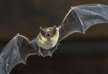 Why do bats have such bizarrely long life-spans?