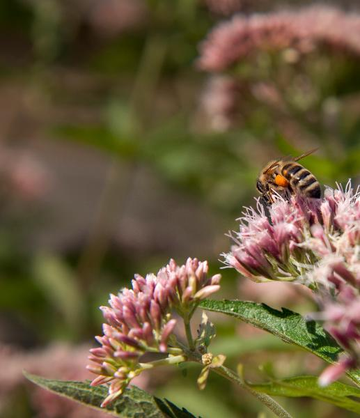 Research study: Hemp Might Assist Decreasing Honeybee Population