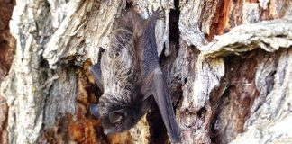 Bats vanquished canines as the primary reason for rabies deaths in the U.S.