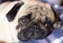 Canines Developed Unfortunate Eyes to Control Their Human Buddies, Research Study Suggests
