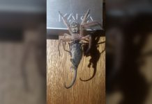 Huntsman Spider Devours Possum in Viral (and Scary) Pictures