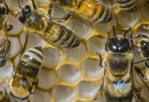 U.S. honeybees had the worst winter season die-off in more than a years