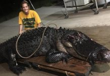 This 12- Foot, 463- Pound. Alligator Went Head to Head with a Semitruck
