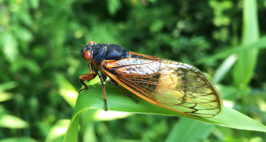These fungis drug cicadas with psilocybin or amphetamine to make them mate continuously