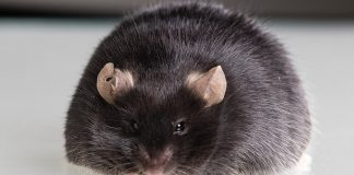 In mice, a high-fat diet plan cuts a 'brake' utilized to manage cravings