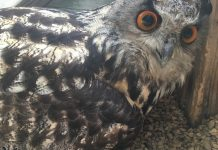 Handlers Idea This Owl Was Male for 23 Years– Then He Laid an Egg
