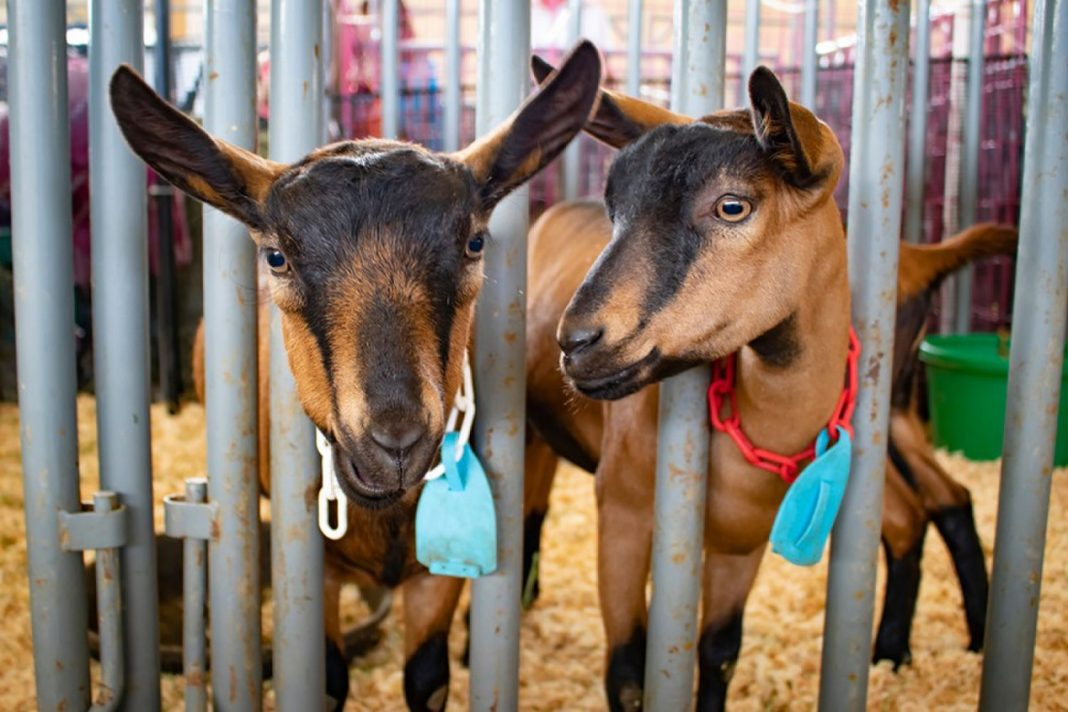 Young Child Passes Away from E. Coli After Going To Petting Zoo at County Fair