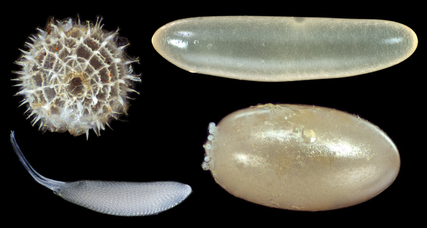 Why some insect eggs are round while others appear like hotdogs