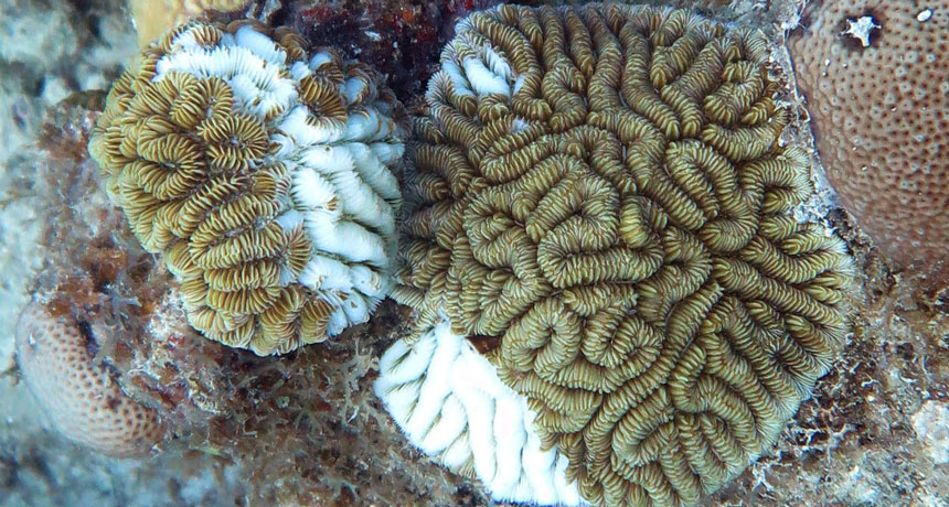A mystical coral illness is damaging Caribbean reefs
