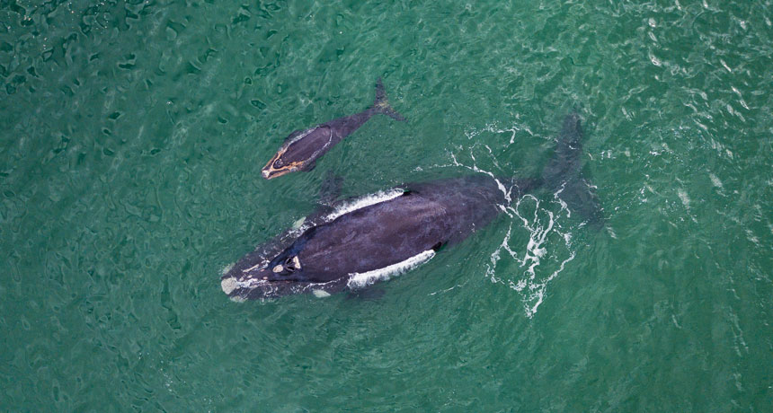 Southern right whale mothers and calves might whisper to avert whale
