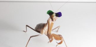 Tiny glasses assist expose how hoping mantises can see in 3-D