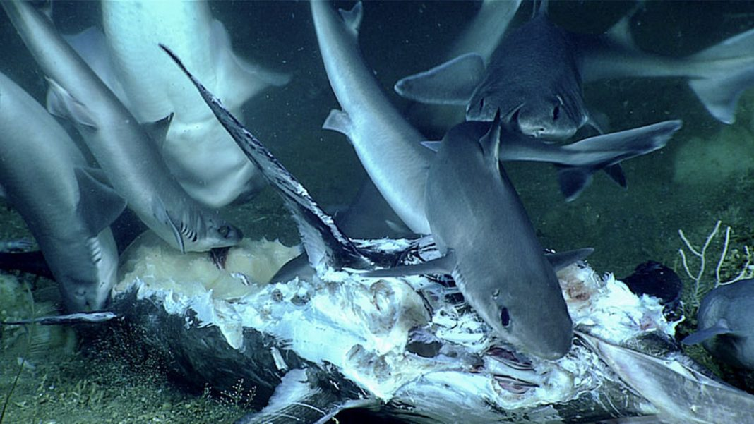 Feeding Craze of 11 Sharks Ends in Surprising Twist … And a Mouthful of Shark for 1 Grouper