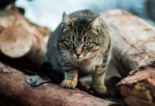 Felines in Australia Eliminate Over 2 Billion Wild Animals Each Year
