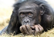 Why Have Not All Primates Progressed into Human Beings?