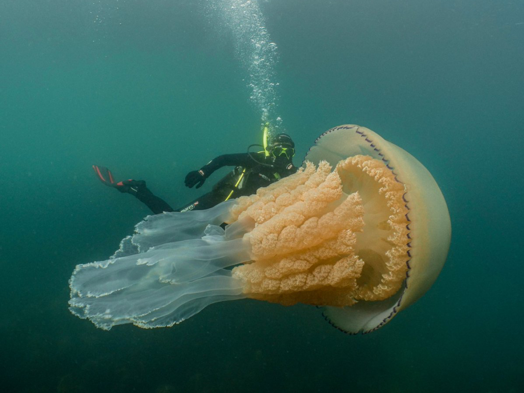 A human-sized jellyfish with frilly arms has actually been captured on cam– the biggest scientists had actually ever experienced